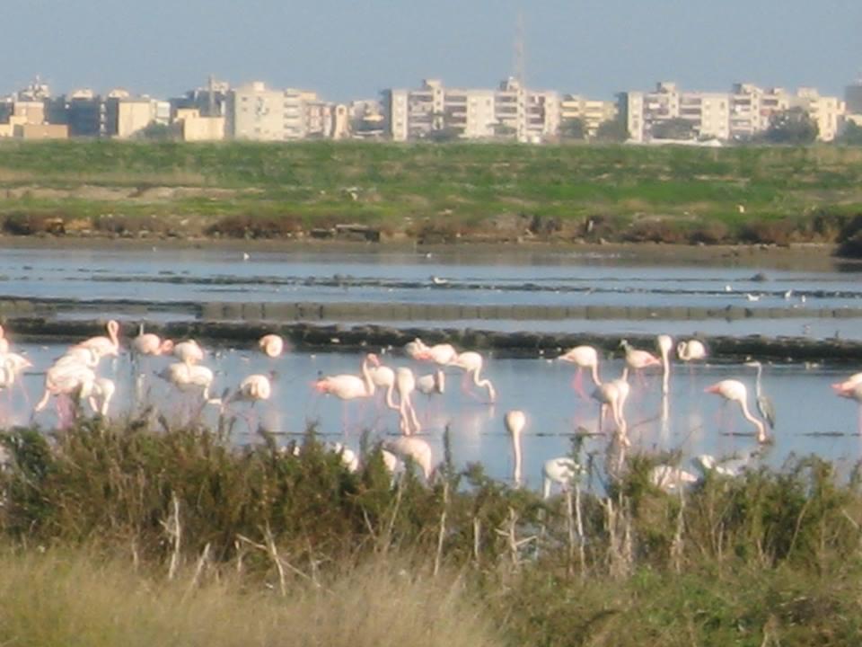 Flamingos in Trapani
