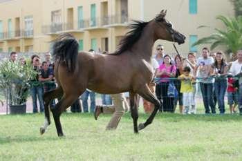 Arabian Horses Cup Trapani