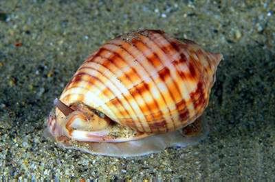 Molluschi del  Mediterraneo a Trapani