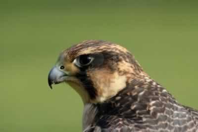 Peregrine falcon saved in San Vito lo Capo