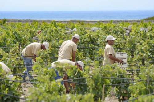 Harvest grapes is back to Favignana after 150 years